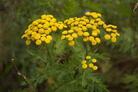 Blue Tansy Oil, Tanacetum annuum - Wild Crafted Organic, Morocco-Single Pure Essential Oil-PurePlant Essentials
