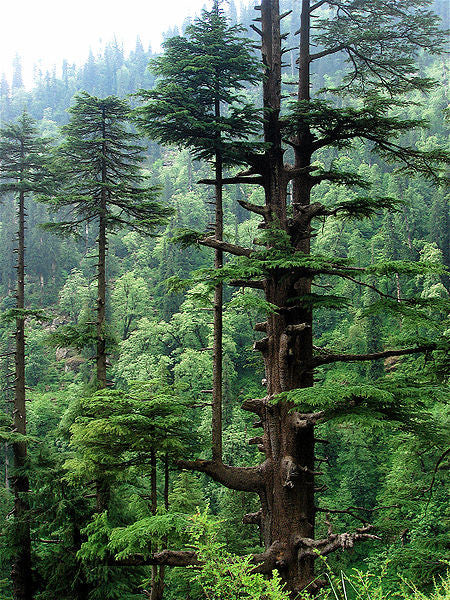 Cedarwood Himalayan, Cedrus Deodora - Steam Distilled Wood, Nepal-Single Pure Essential Oil-PurePlant Essentials