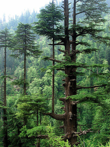 Cedarwood Himalayan Oil, Cedrus deodora - Ethically Wild Crafted, Nepal-Single Pure Essential Oil-PurePlant Essentials