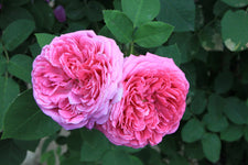 Rose Otto, Rosa Damascena -- Steam Distilled Flower Petals, Turkey-Single Pure Essential Oil-PurePlant Essentials
