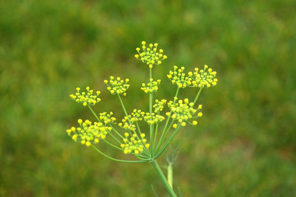Fennel Bitter, Foeniculum Vulgare - Steam Distilled Seed, USA-Single Pure Essential Oil-PurePlant Essentials