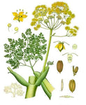 Galbanum, Ferula Galbaniflua - Steam Distilled Gum Resin, Iran-Single Pure Essential Oil-PurePlant Essentials