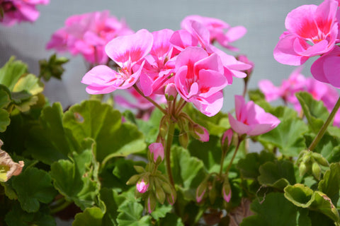 Geranium Oil, Pelargonium roseum - Organic, Madagascar - SAVE Up to 50% OFF!-Single Pure Essential Oil-PurePlant Essentials
