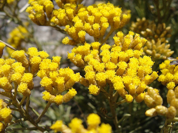 Helichrysum Oil, Helichrysum italicum - Organic, Corsica - SAVE Up to 30% OFF!-Single Pure Essential Oil-PurePlant Essentials