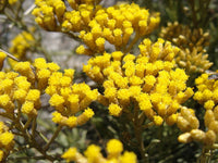 Helichrysum Oil, Helichrysum italicum - Organic, Corsica-Single Pure Essential Oil-PurePlant Essentials