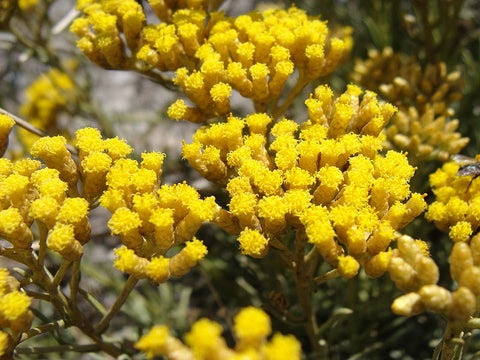 Helichrysum, Helichrysum italicum - (Immortelle) Steam Distilled Flowers (Certified Organic), Corsica - 10% Dilution Light Coconut Oil-Single Pure Essential Oil-PurePlant Essentials