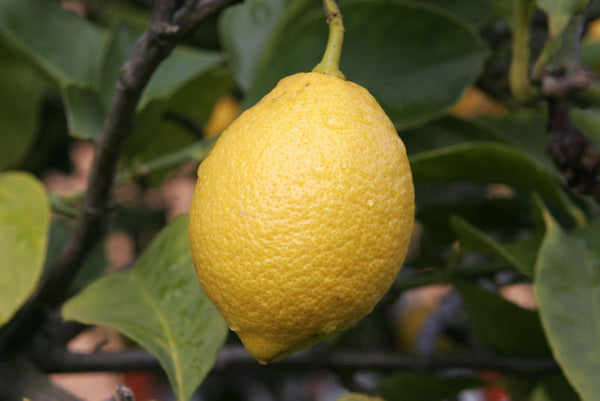 Lemon, Citrus Limonum - Cold Pressed Peel, Italy-Single Pure Essential Oil-PurePlant Essentials