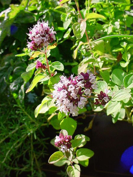 Oregano Essential Oil, Origanum vulgare - Turkey-Single Pure Essential Oil-PurePlant Essentials