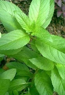 Peppermint, Mentha x piperita - Steam Distilled Flower Tops, USA-Single Pure Essential Oil-PurePlant Essentials