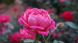 Rose Otto Essential Oil, Rosa x damascena - Bulgaria-Single Pure Essential Oil-PurePlant Essentials