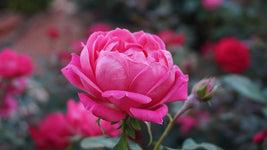 Rose Otto Essential Oil, Rosa x damascena 5% Dilution - Bulgaria-Single Pure Essential Oil-PurePlant Essentials