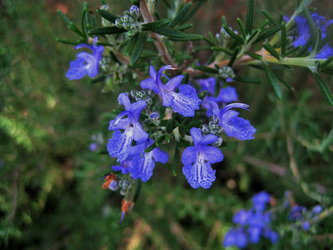 Rosemary ct Verbenon, Rosmarinus Officinalis - Steam Distilled Leaf (Certified Organic), Corsica-Single Pure Essential Oil-PurePlant Essentials