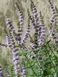 Spearmint Essential Oil, Mentha x spicata - USA*-Single Pure Essential Oil-PurePlant Essentials