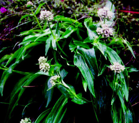 Spikenard Oil, Nardostachys jatamansi — Ethically Wild Crafted Organic, Nepal-Single Pure Essential Oil-PurePlant Essentials