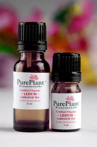 Ledum, Ledum Groenlandicum -- Steam Distilled Herb (Certified Organic), Canada-Single Pure Essential Oil-PurePlant Essentials