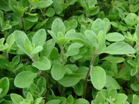 Marjoram Sweet, Origanum Marjorana - Steam Distilled Flower & Leaf, Egypt-Single Pure Essential Oil-PurePlant Essentials