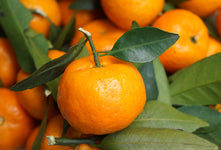 Tangerine Essential Oil, Citrus reticulata - USA-Single Pure Essential Oil-PurePlant Essentials