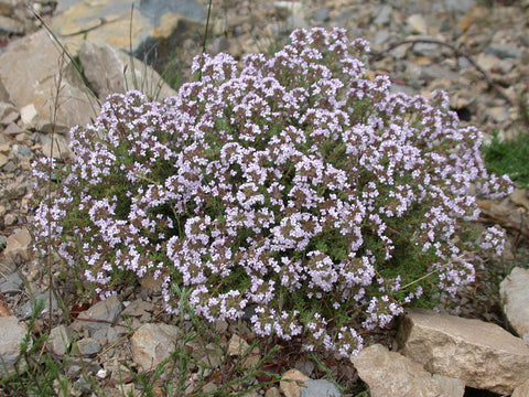 Thyme, Thymus vulgaris ct. Thymol -- Steam Distilled Herb (Wild Crafted), Germany (High Thymol)-Single Pure Essential Oil-PurePlant Essentials