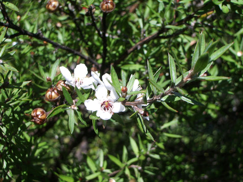 Manuka, Leptospermum scoparium - Steam Distilled Leaf (Wild Crafted), New Zealand-Single Pure Essential Oil-PurePlant Essentials
