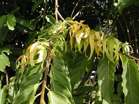 Ylang Ylang III, Cananga odorata - Steam Distilled Flowers (Wild Crafted), Madagascar (High Sesquiterpenes)-Single Pure Essential Oil-PurePlant Essentials