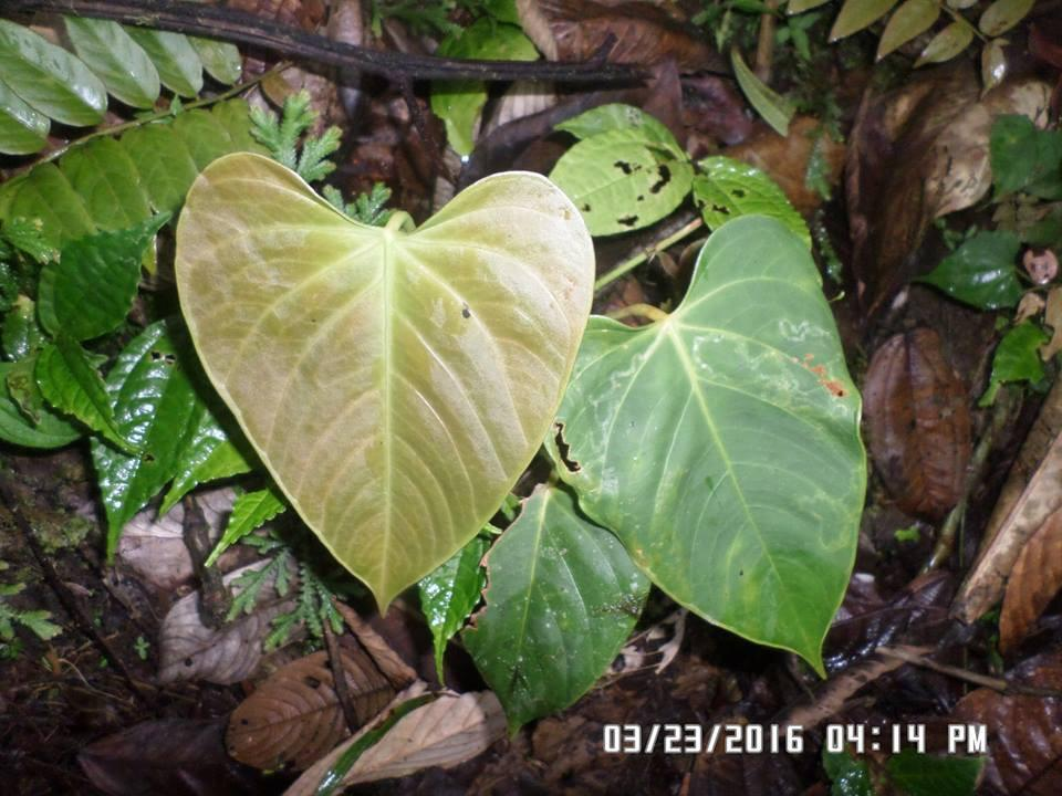 GueCal #135 Anthurium sp