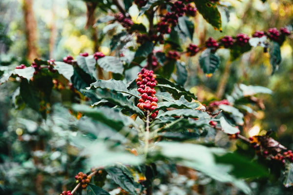 Coffee plant with ripe red berries