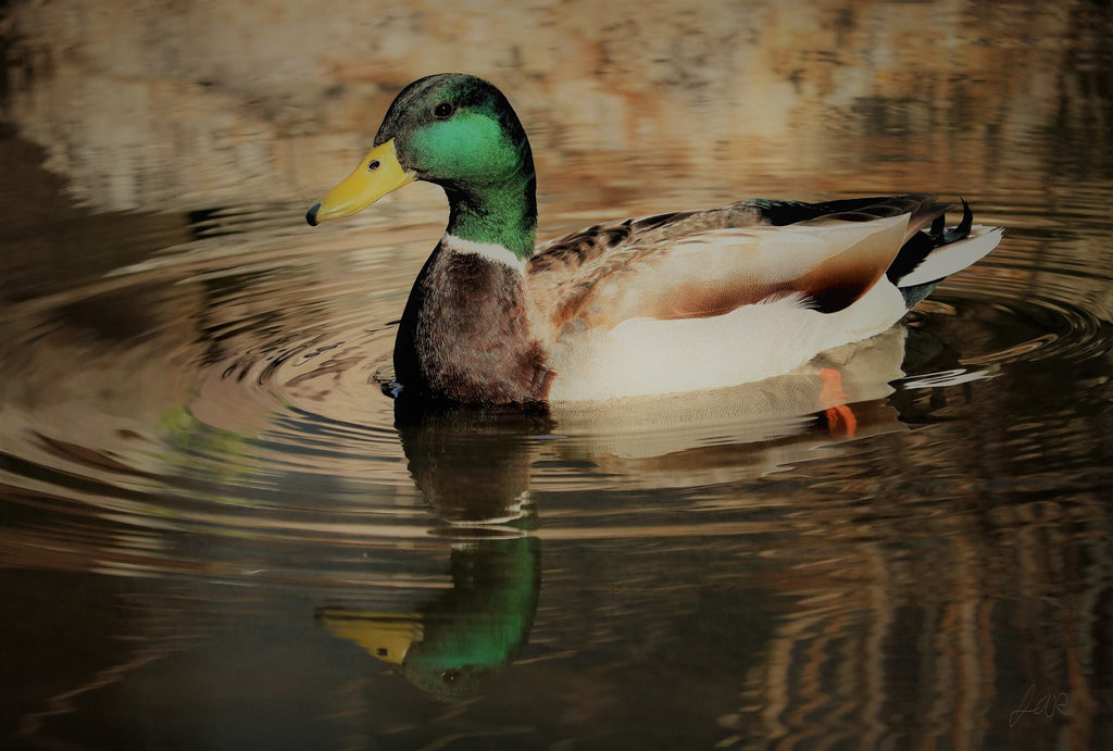 Reflecting Duck Print