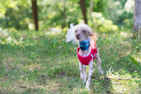 Chinese crested hypoallergeen