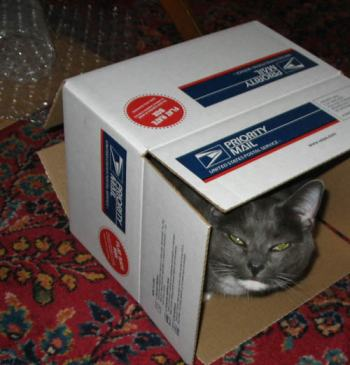 A Cute Grey Cat in a Box