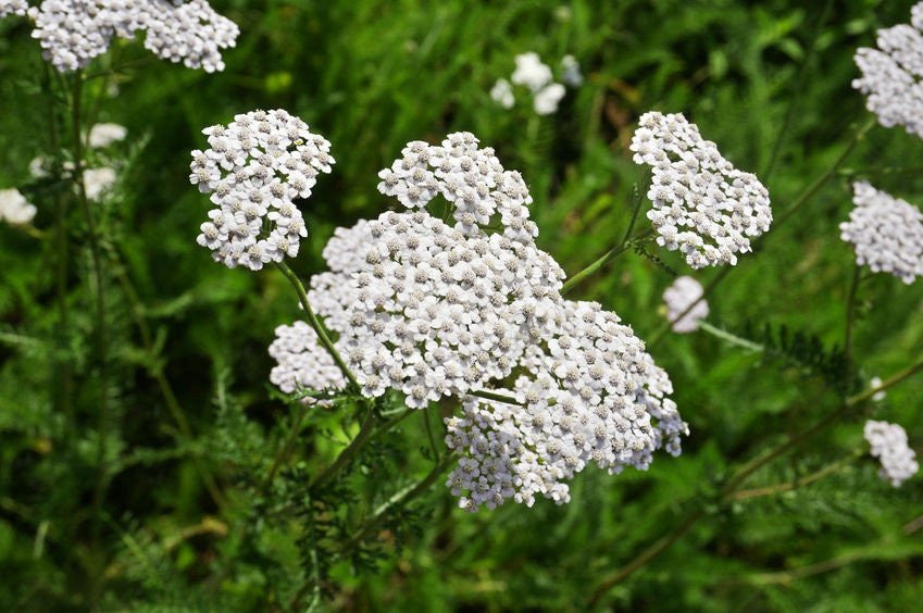 Yarrow Hydrosol: Soothing antiseptic for skin irritation