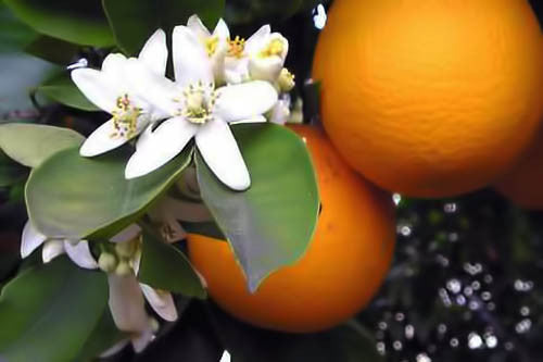 Orange Blossom Hydrosol (Neroli)
