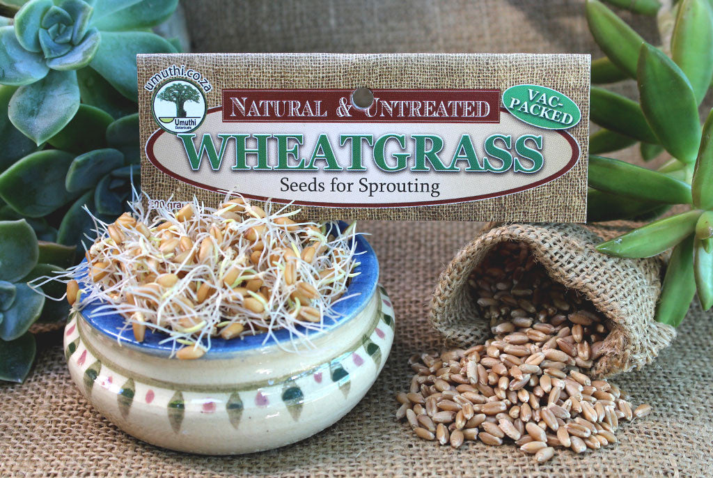 WHEATGRASS SEEDS FOR SPROUTING
