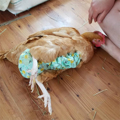 What to Expect When Diapering a Chicken?