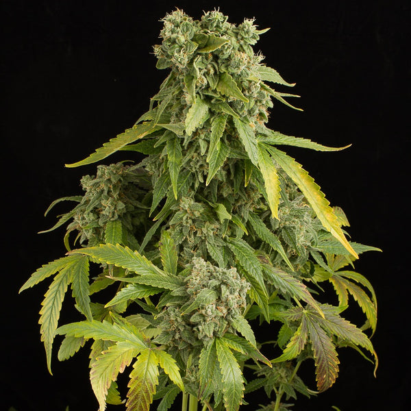 Blue Cheese fast version- Azúcar Seeds