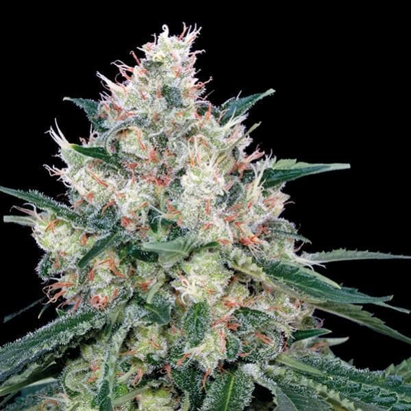 Royal Caramel Fast (3) - Royal Queen Seeds
