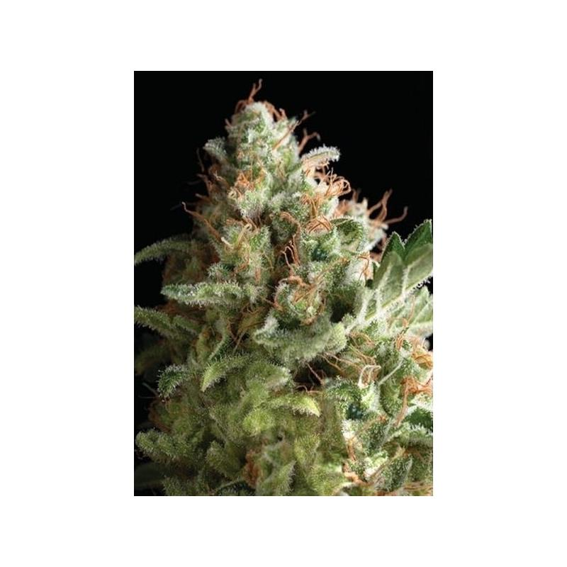 American Pie (1) - Pyramid Seeds