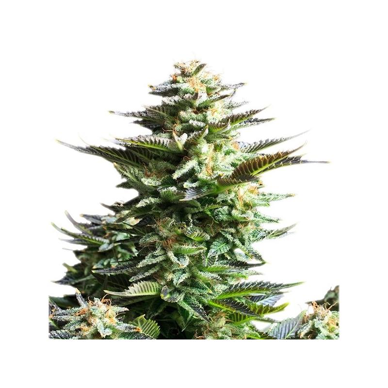 Amnesia Haze (3) - Royal Queen Seeds