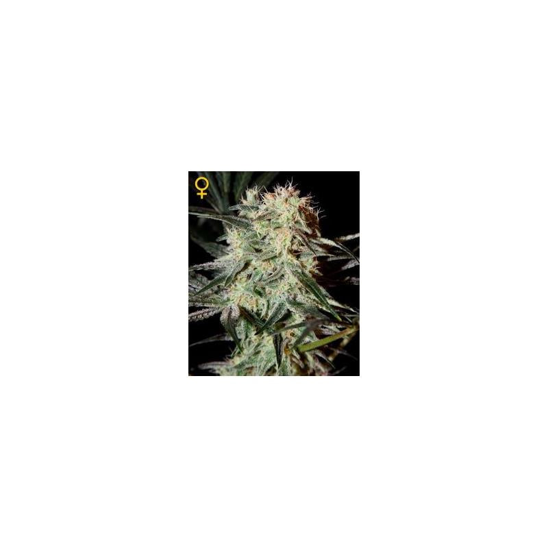 Arjans Strawberry Haze (3) - Green House Seeds
