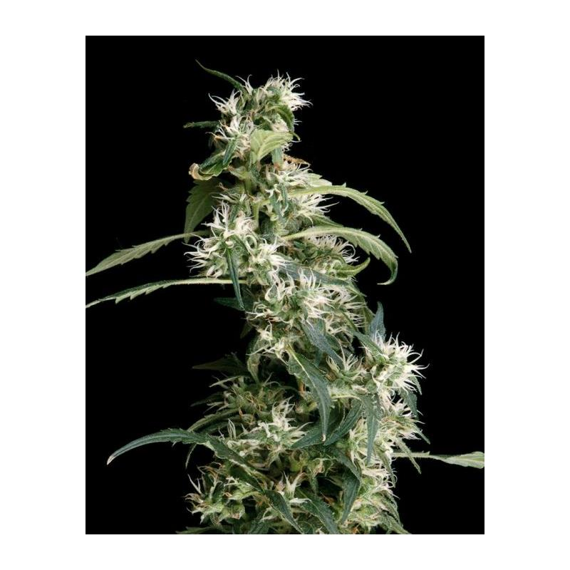 Arjans Ultra Haze 1 (3) - Green House Seeds