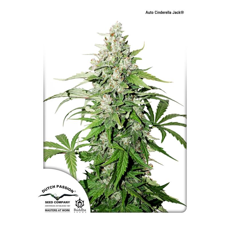 Auto Cinderella Jack (3) - Dutch Passion