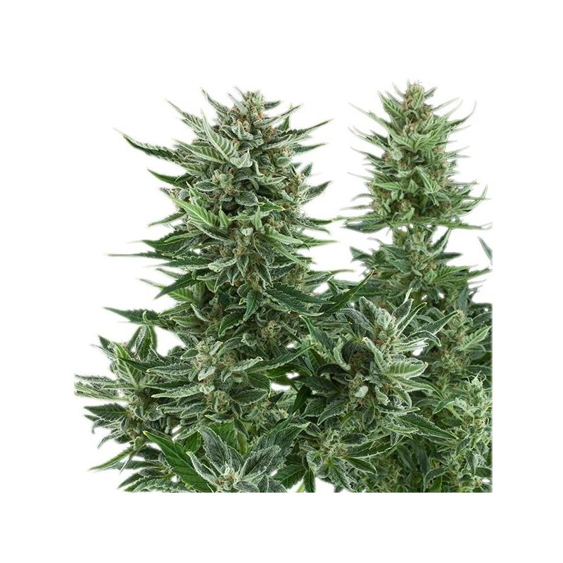 Auto Easy Bud (1) - Royal Queen Seeds