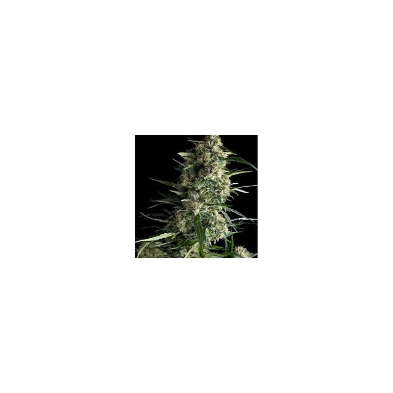 Auto Galaxy (1) - Pyramid Seeds