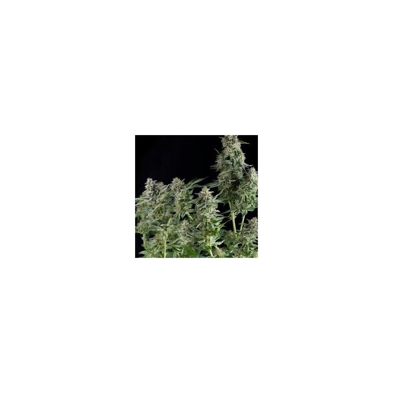 Auto Northern Lights (1) - Pyramid Seeds