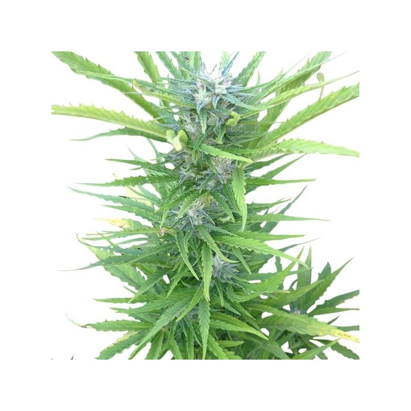 Auto Northern Light (1) - Royal Queen Seeds