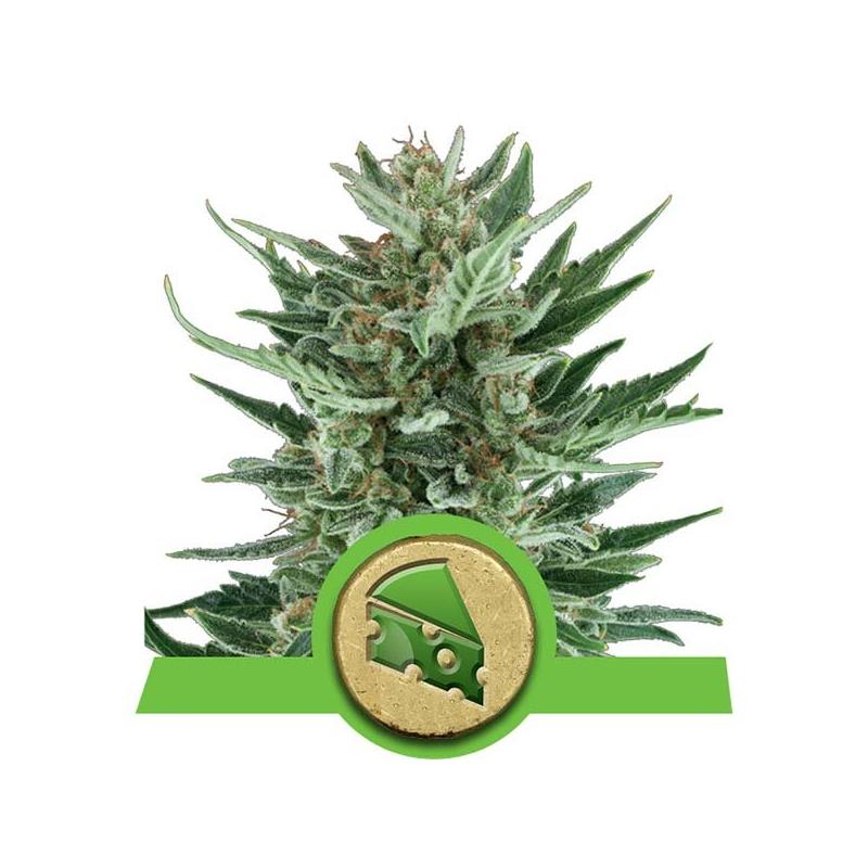 Auto Royal Cheese (3) - Royal Queen Seeds