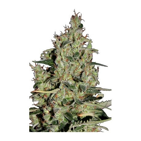 Autocritical (5) - Seedmakers