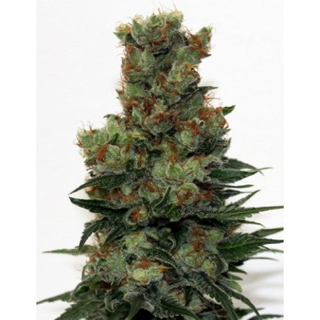 Badazz Fem (3) - Ripper Seeds