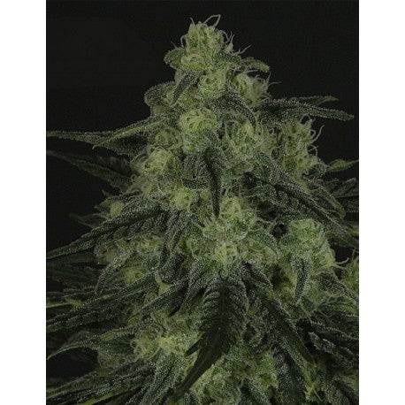 Black Valley Fem (3) - Ripper Seeds