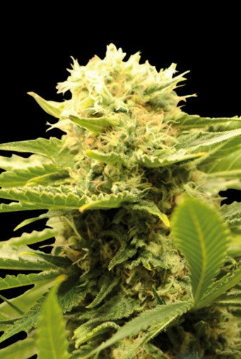 Venta de semilla de marihuana BLACK DREAM (3) Eva Seeds