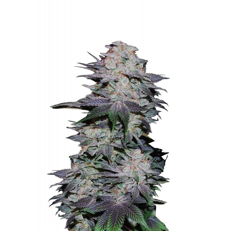 Blackberry Auto (3) - Fast Buds